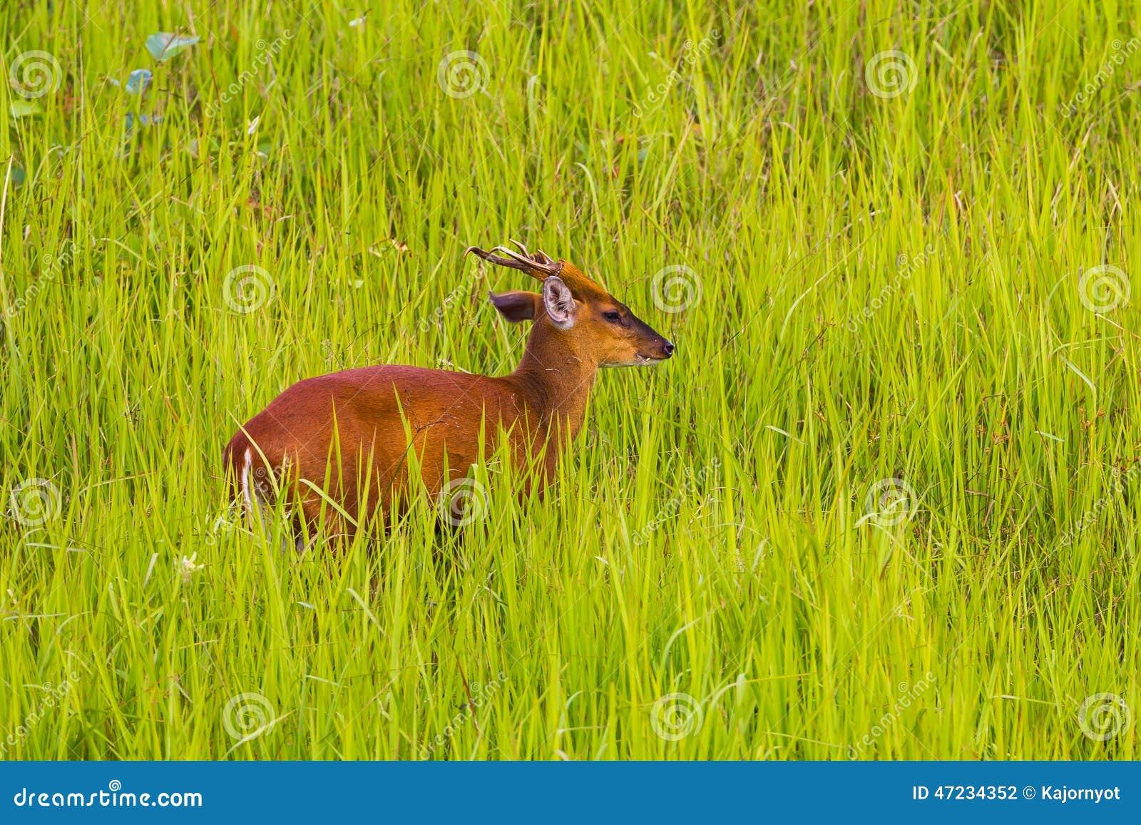Male Barking Deer (Muntjacs or Mastreani deer)