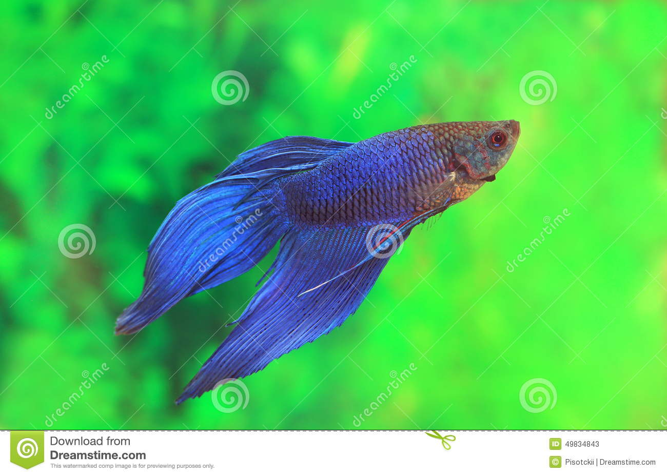 Male Of Betta Splendens Of Blue Color Stock Image - Image of animal ...