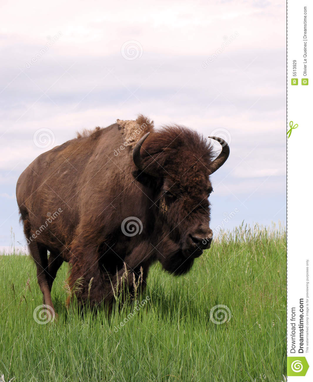 Male Bison Bull on the American West Prairie Grass