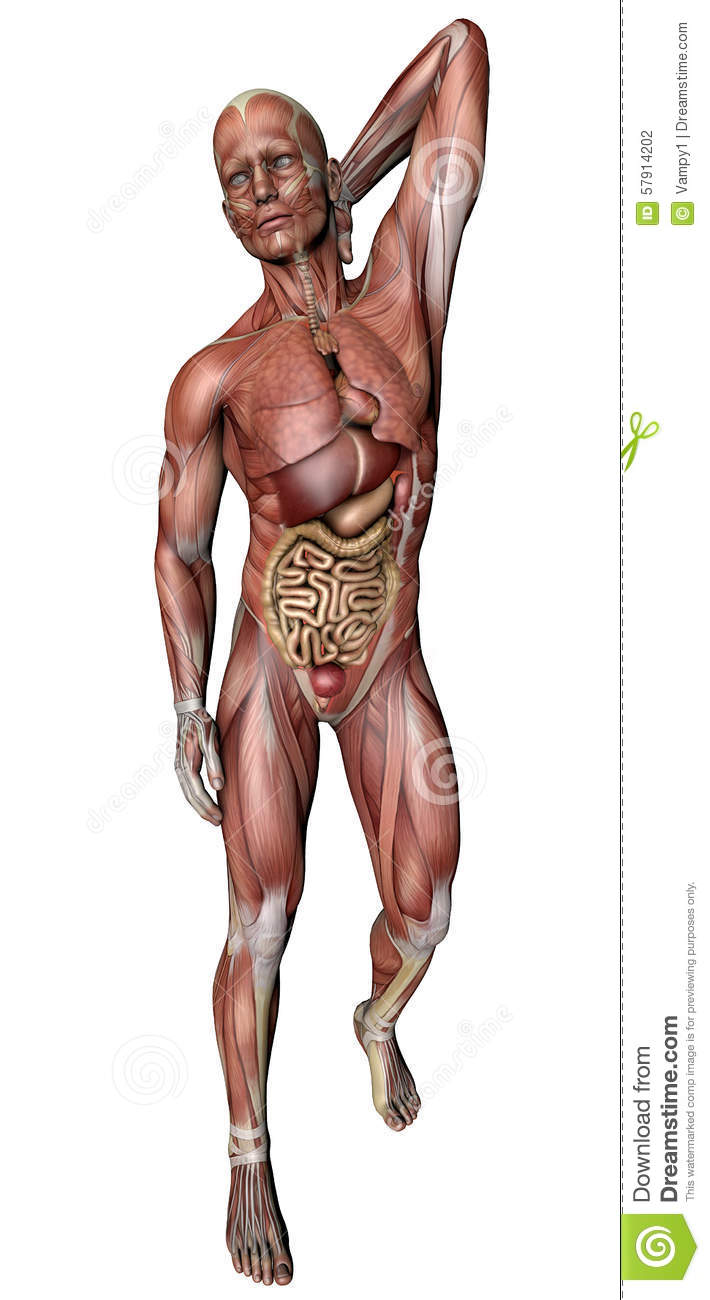 Male Body With Skeletal Muscles And Organs Stock Illustration