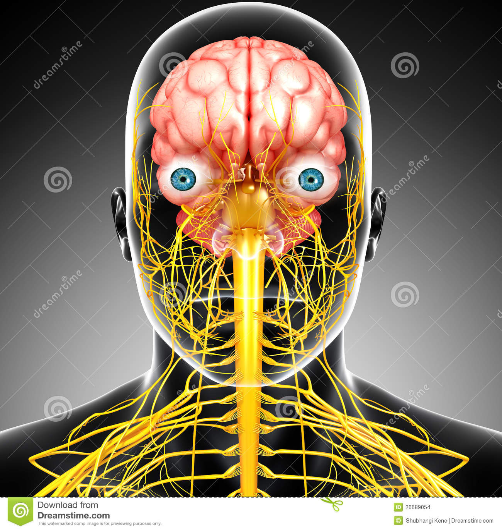 Male Brain Anatomy Nervous System