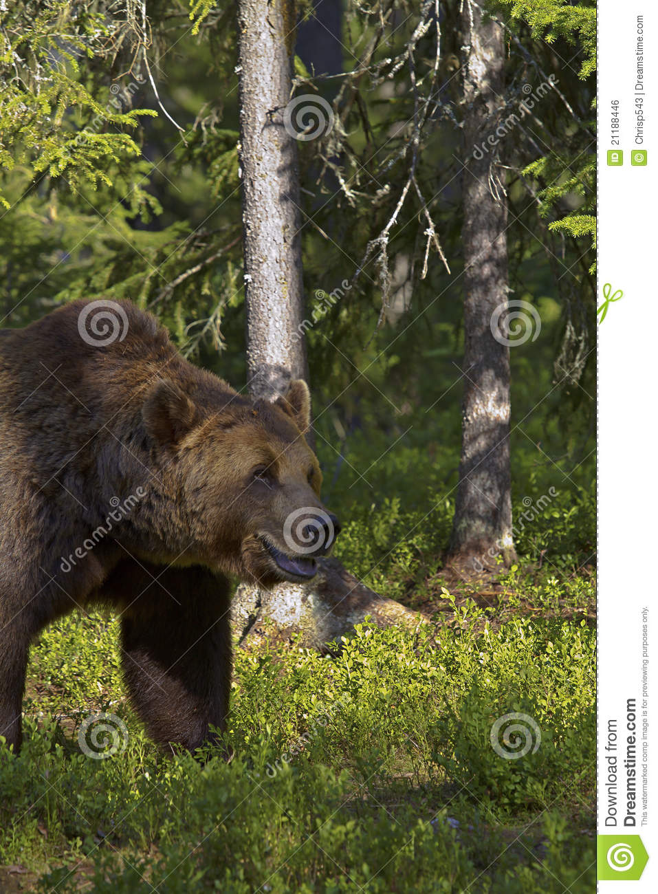 Male brown bear (Ursus Arctos)