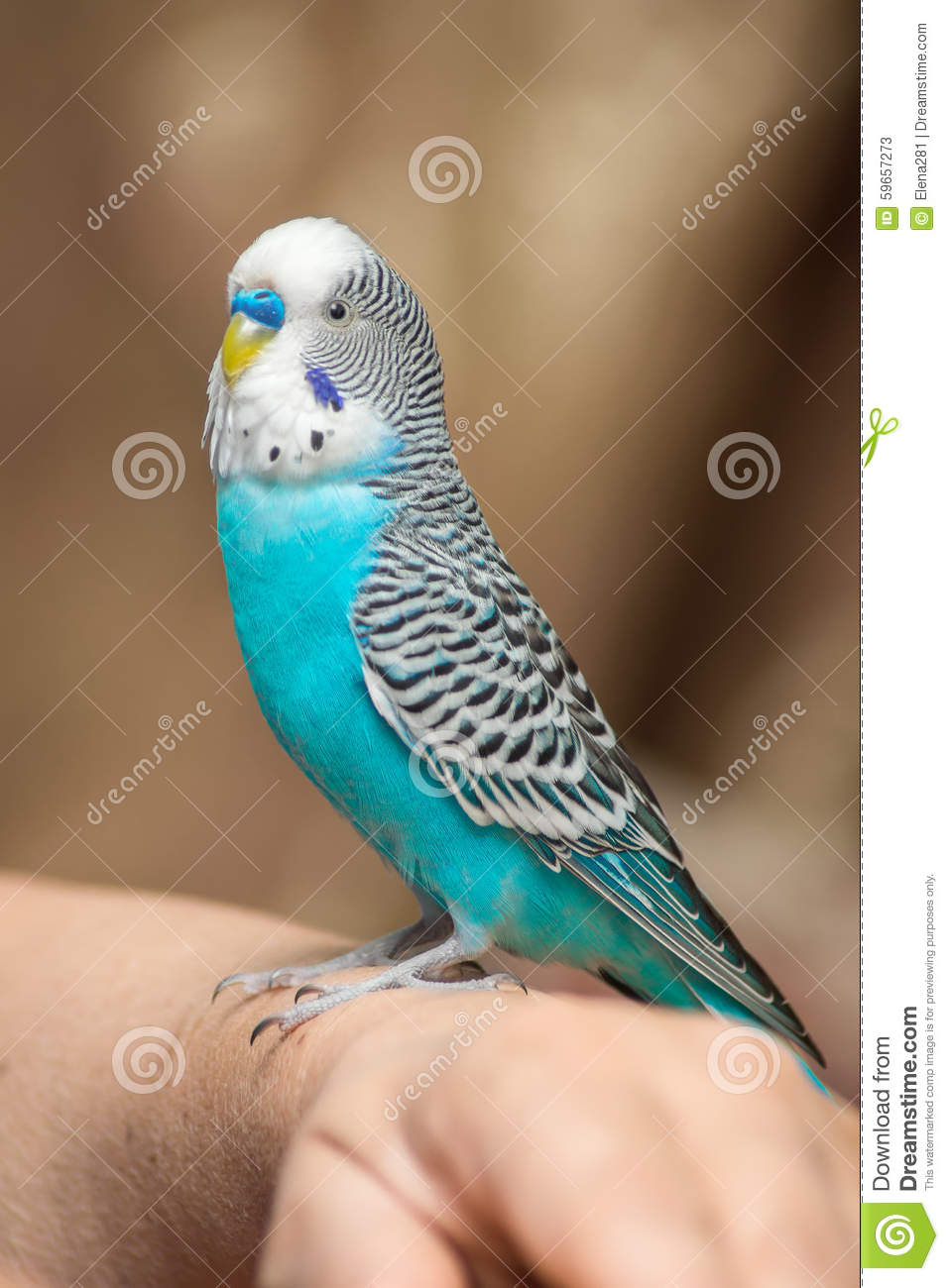 how to tell a budgie is male or female