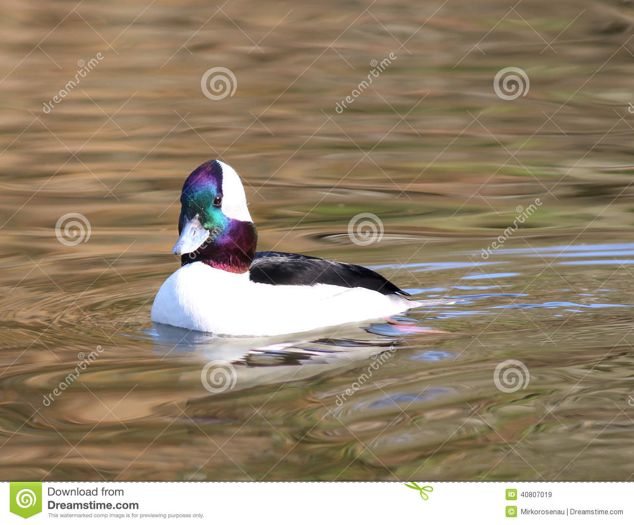colorful duck swimming stock photos image 2237753