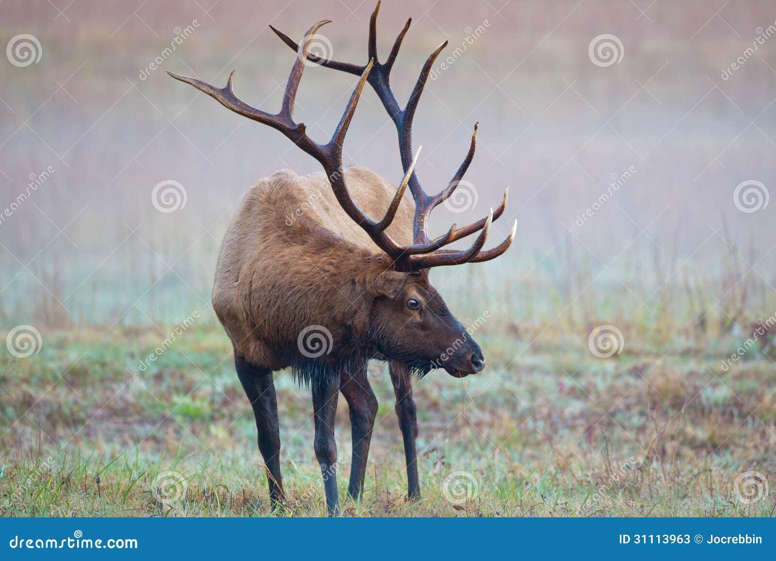 Male Bull Elk Shows Huge Antlers On Misty Morning Stock