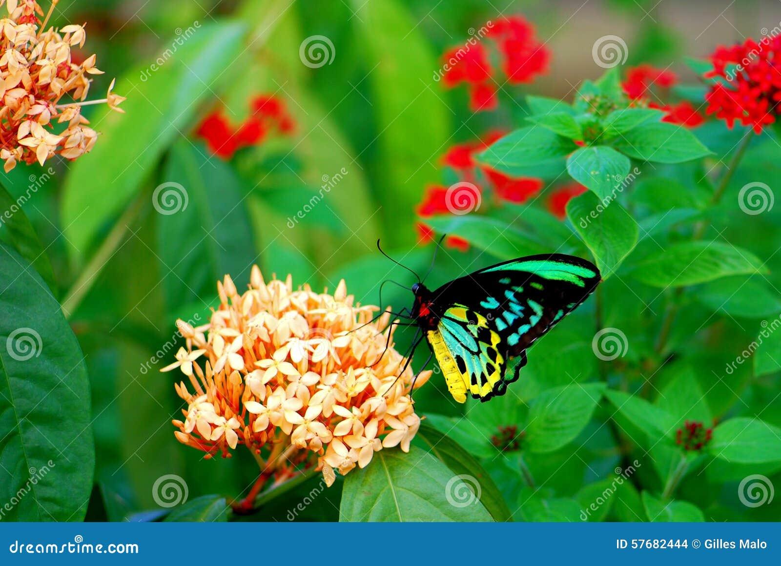 Male Cairns Birdwing Butterfly Feeding In Flowers Stock Photo ...