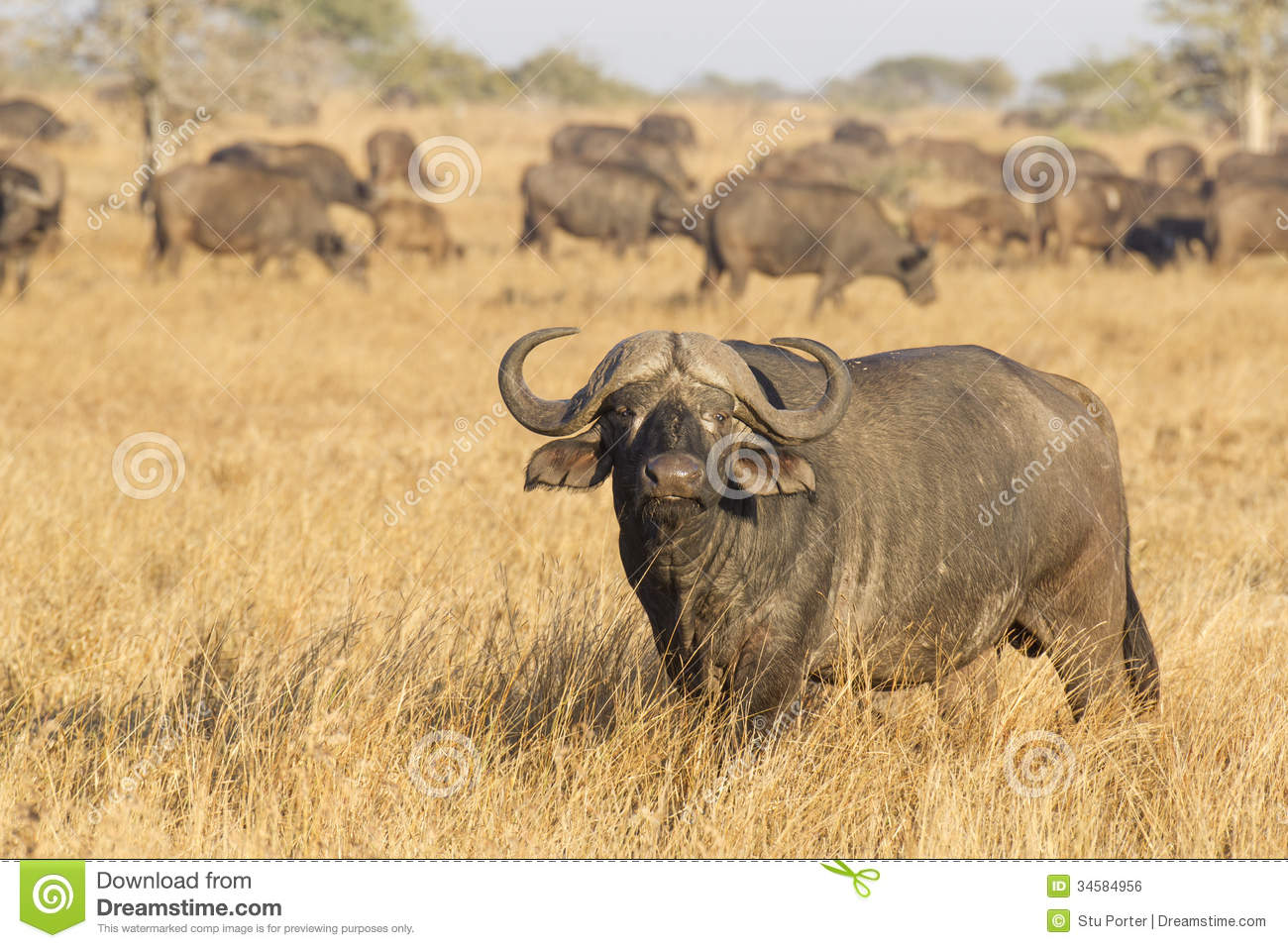 Male Cape Buffalo With Herd, South Africa Royalty Free Stock Image ...