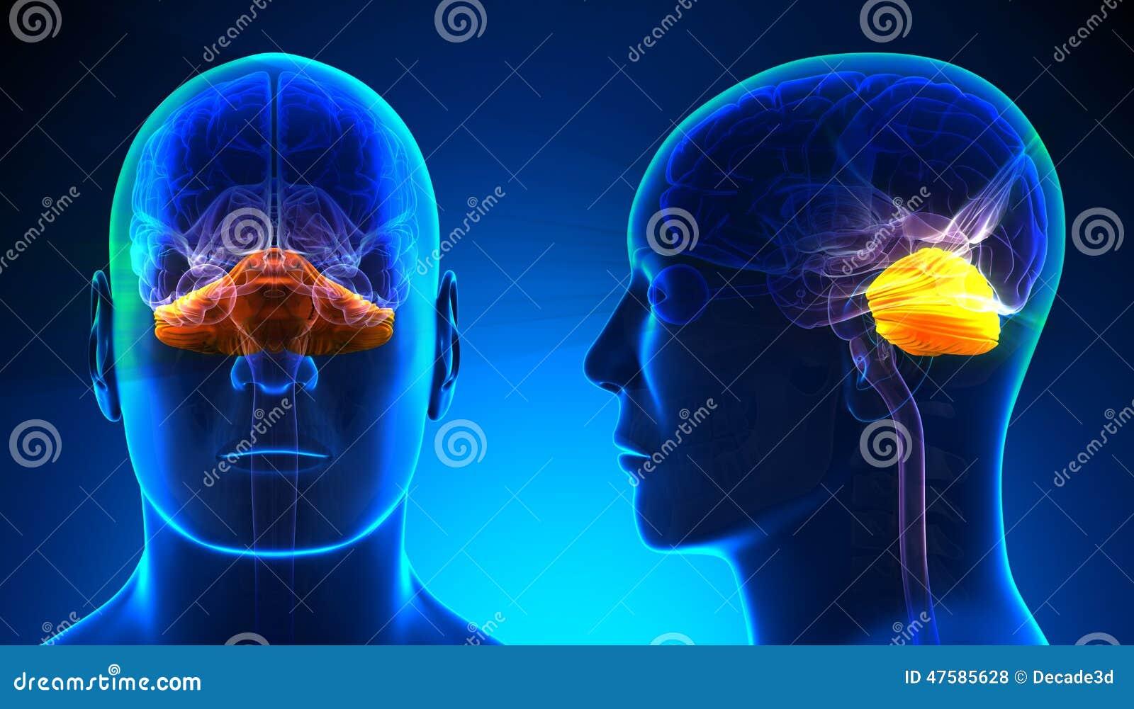 Male Cerebellum Brain Anatomy - Blue Concept Stock Illustration ...