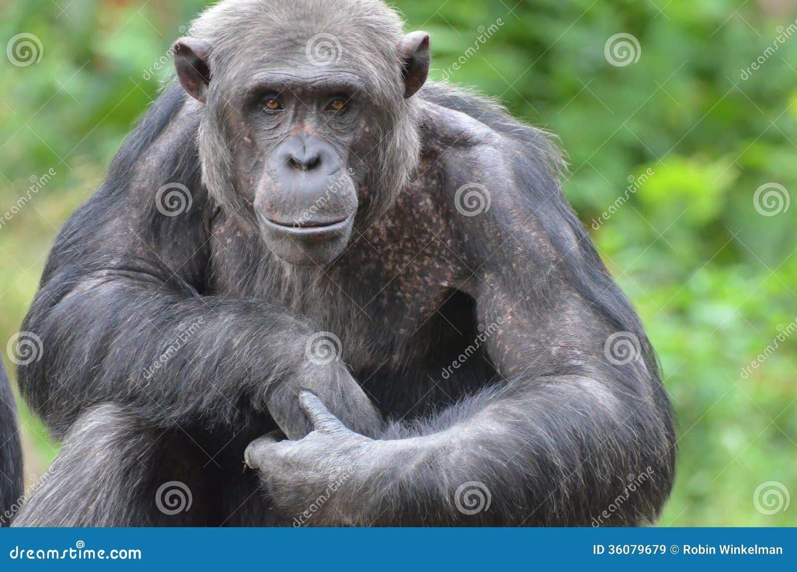 Chimp Murder in Mahale | Nomad Tanzania