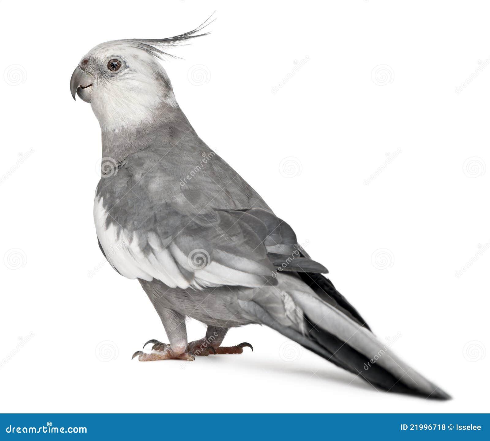 Male Cockatiel, Nymphi...
