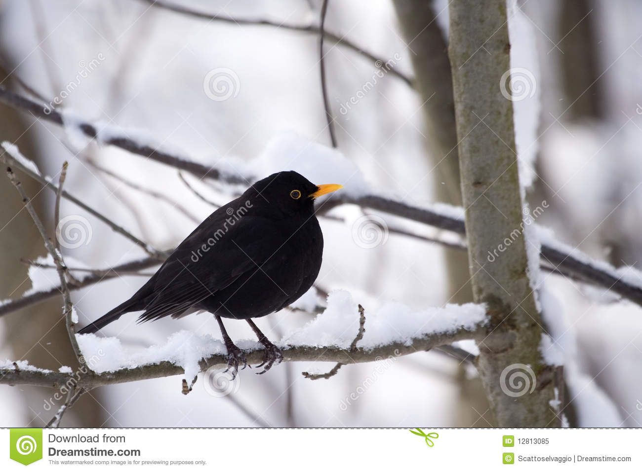Male Common Blackbird (Turdus merula) on snow-covered branch. It is also called Eurasian Blackbird (especially in North America, to distinguish it from the unrelated New World blackbirds.