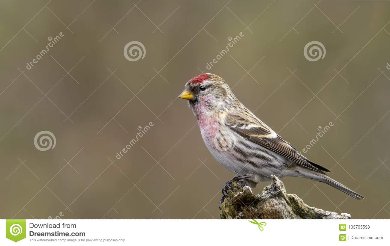 Acanthis flammea cabaret. Male Common Redpoll. Acanthis flammea.