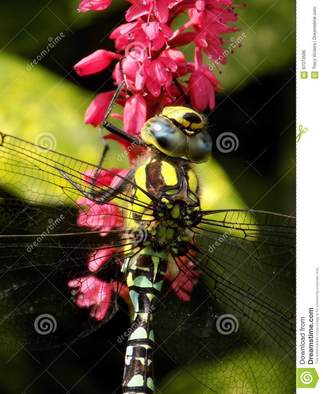 Male Common Southern Hawker dragonfly