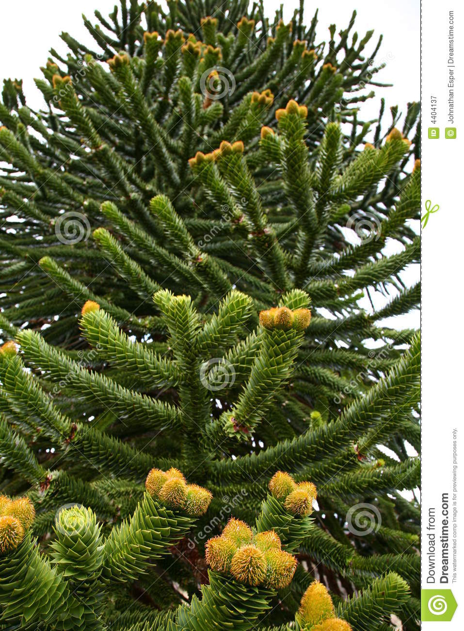 ... Free Stock Photography: Male cones of the Araucaria araucana tree