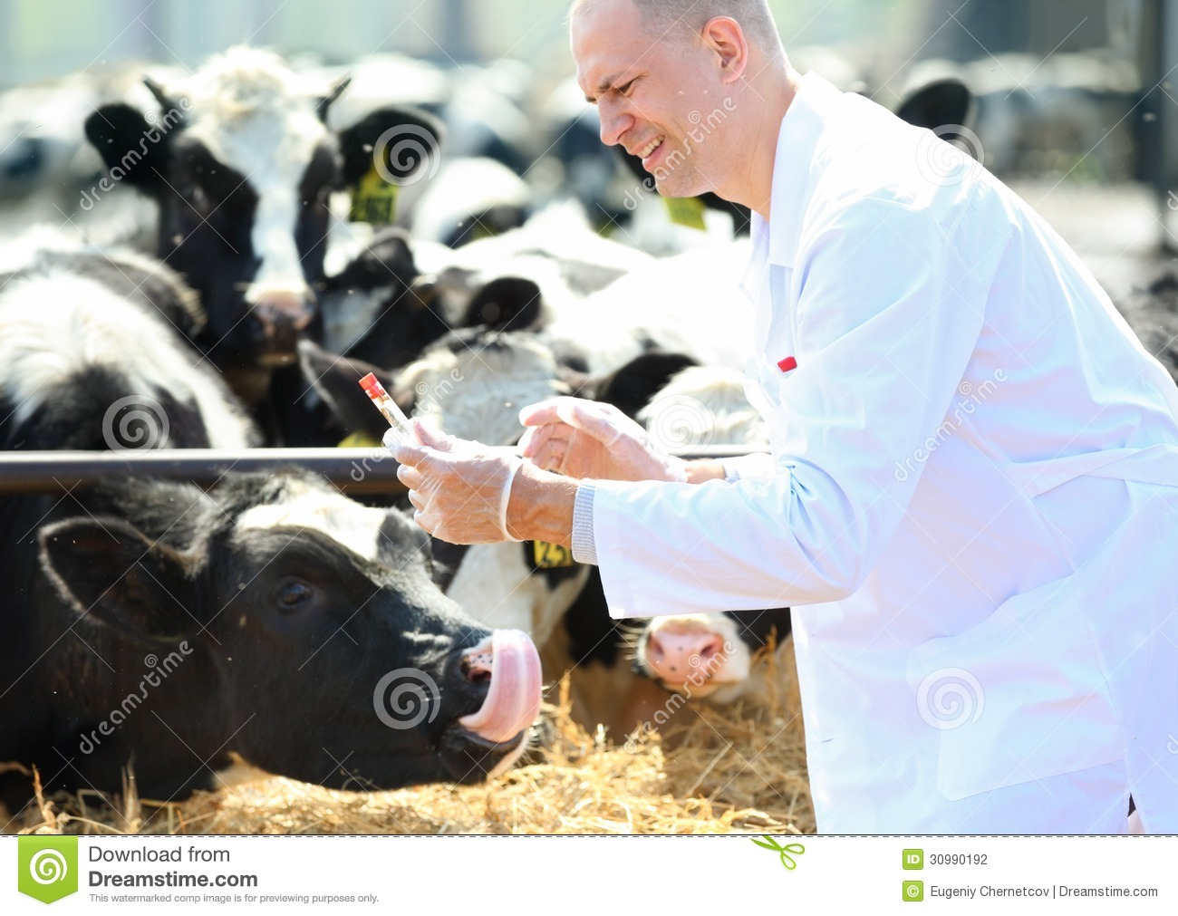 Male cow veterinarian at farm takes analyzes