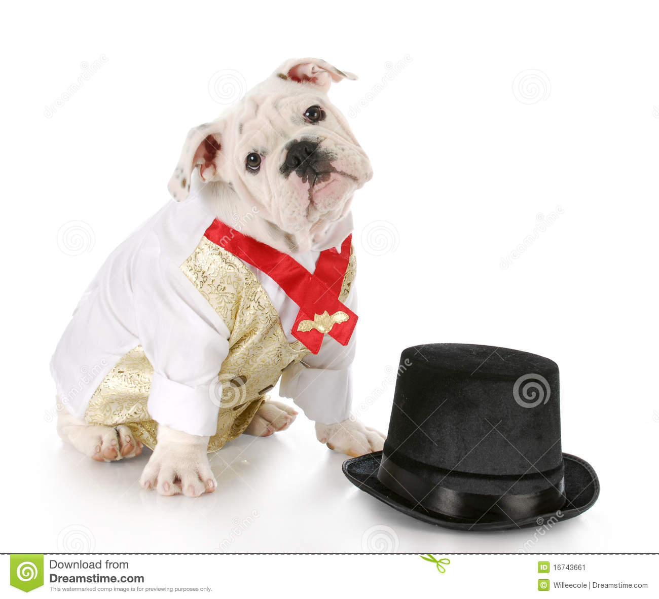 33b3a8b26b4 Bulldog puppy wearing formal shirt sitting beside black top hat with  reflection on white background