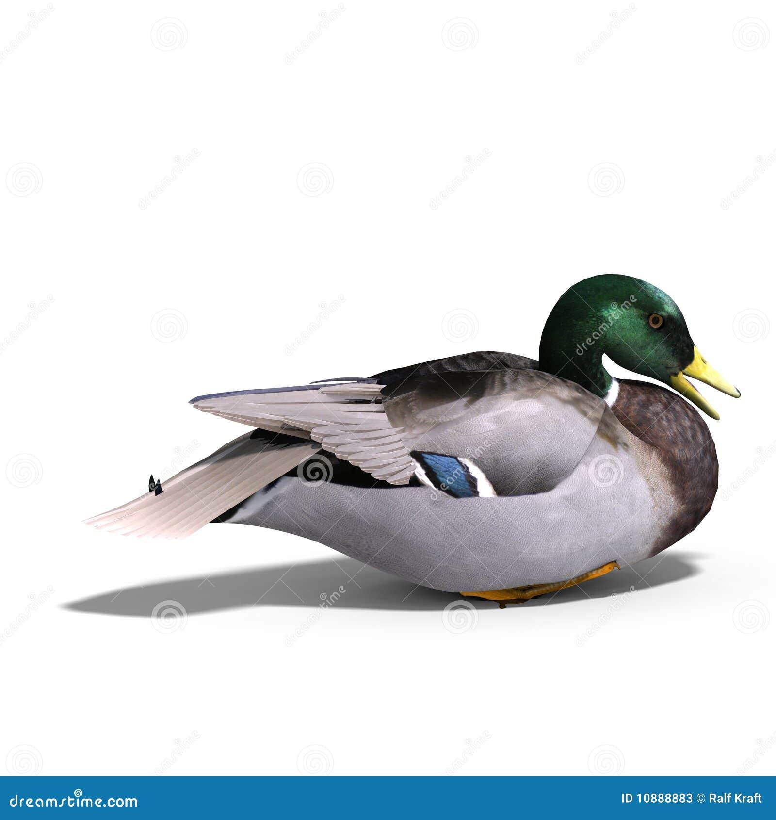 Male duck mallard sitting