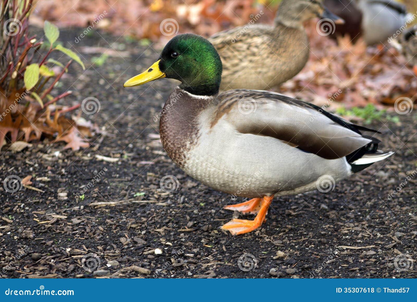 Male Duck posing