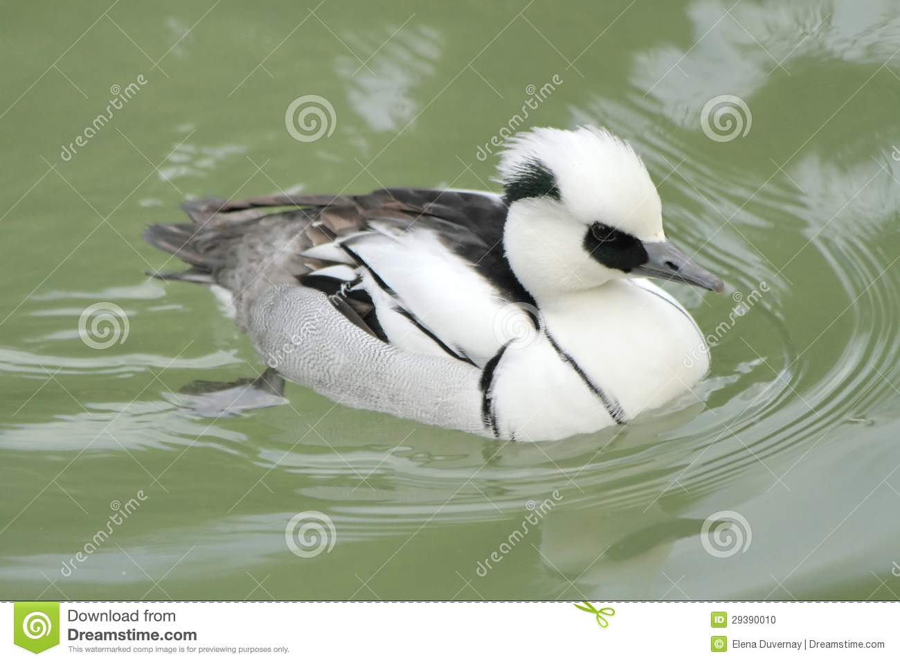 Male Duck Smew Stock Photo - Image: 29390010