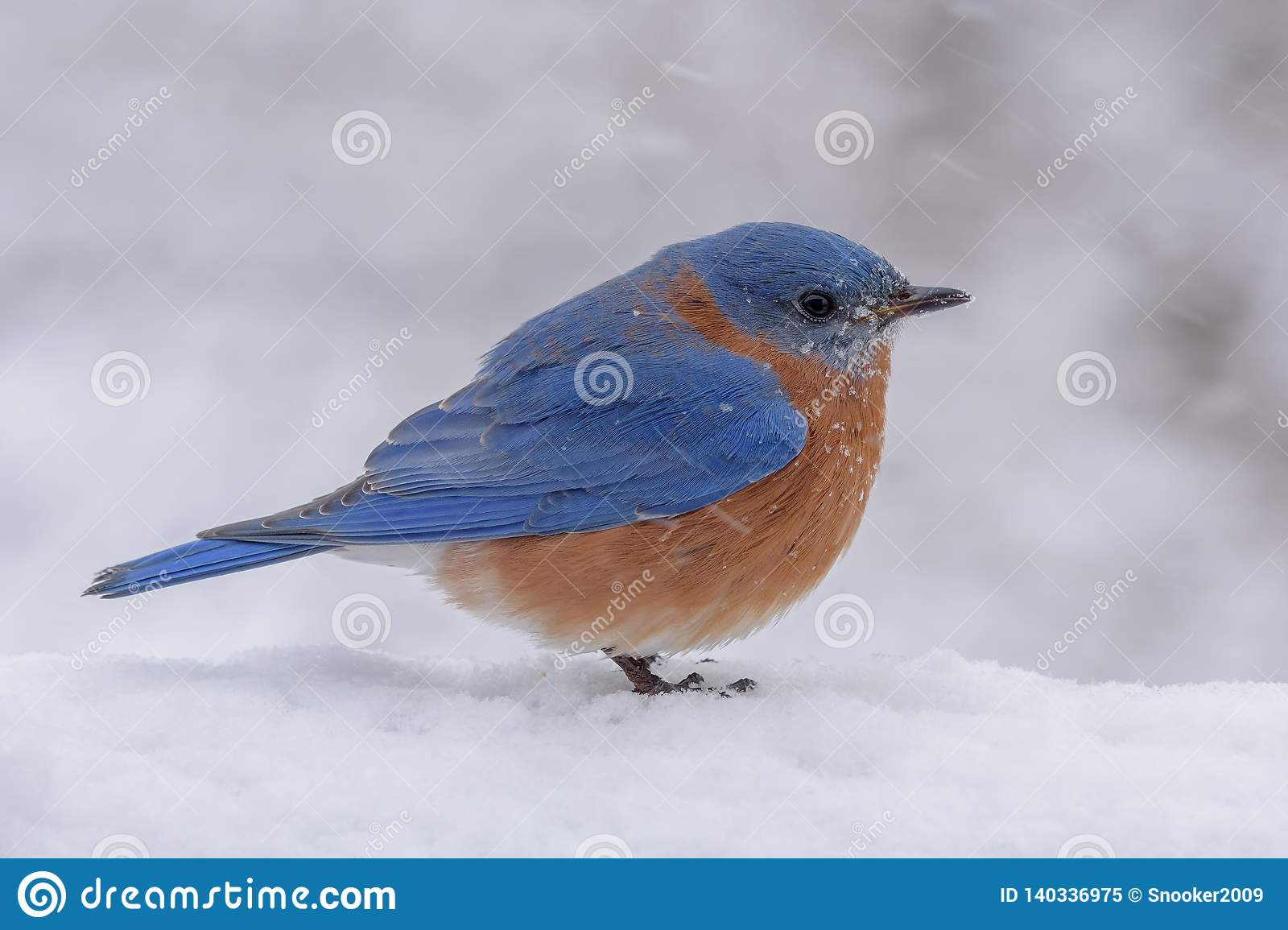 Male Eastern Bluebird in a snow and freezing rain storm