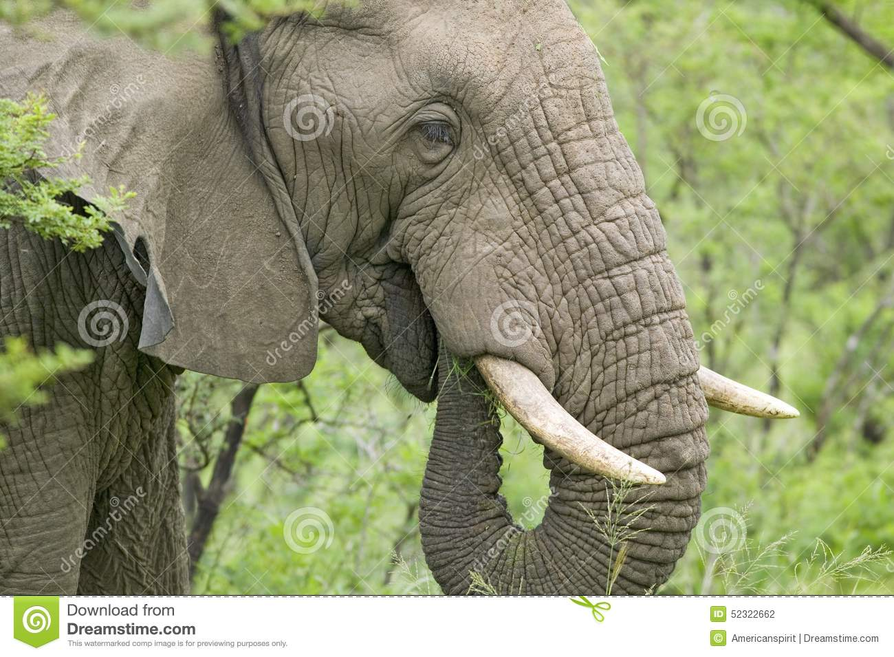 Male elephant with Ivory tusks eating brush in Umfolozi Game Reserve, South Africa, established in 1897