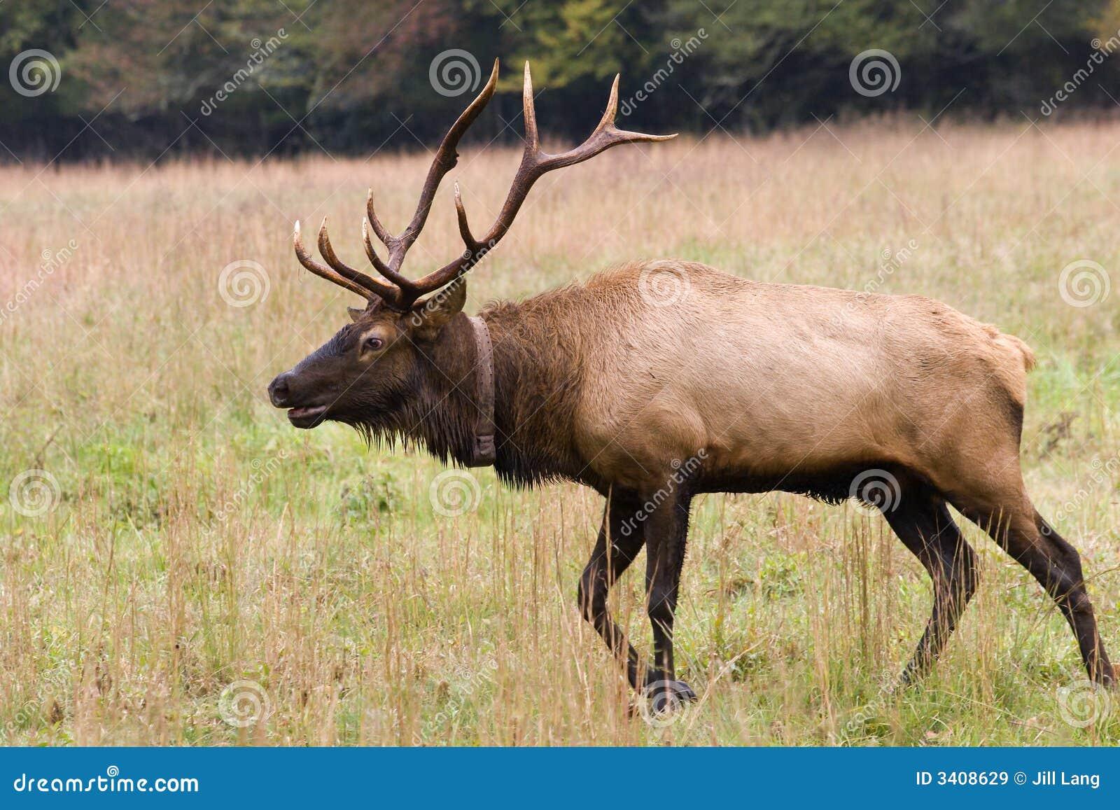 male elk walking royalty free stock images