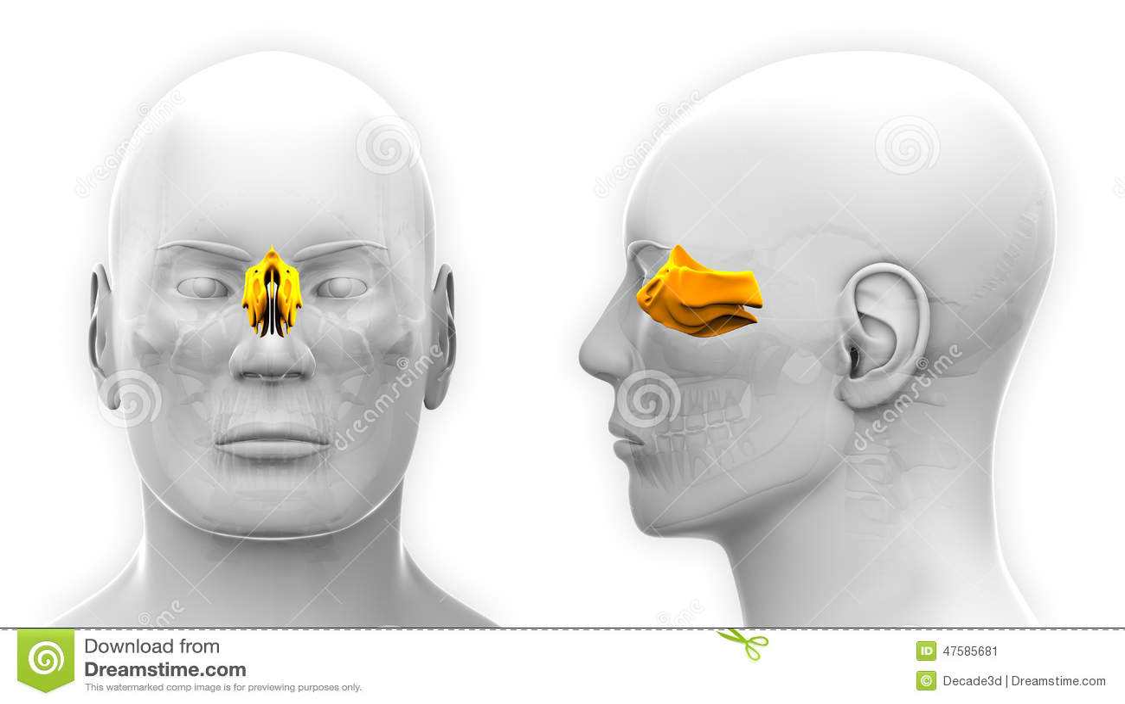 Male Ethmoid Skull Anatomy - Isolated On White Stock Illustration ...