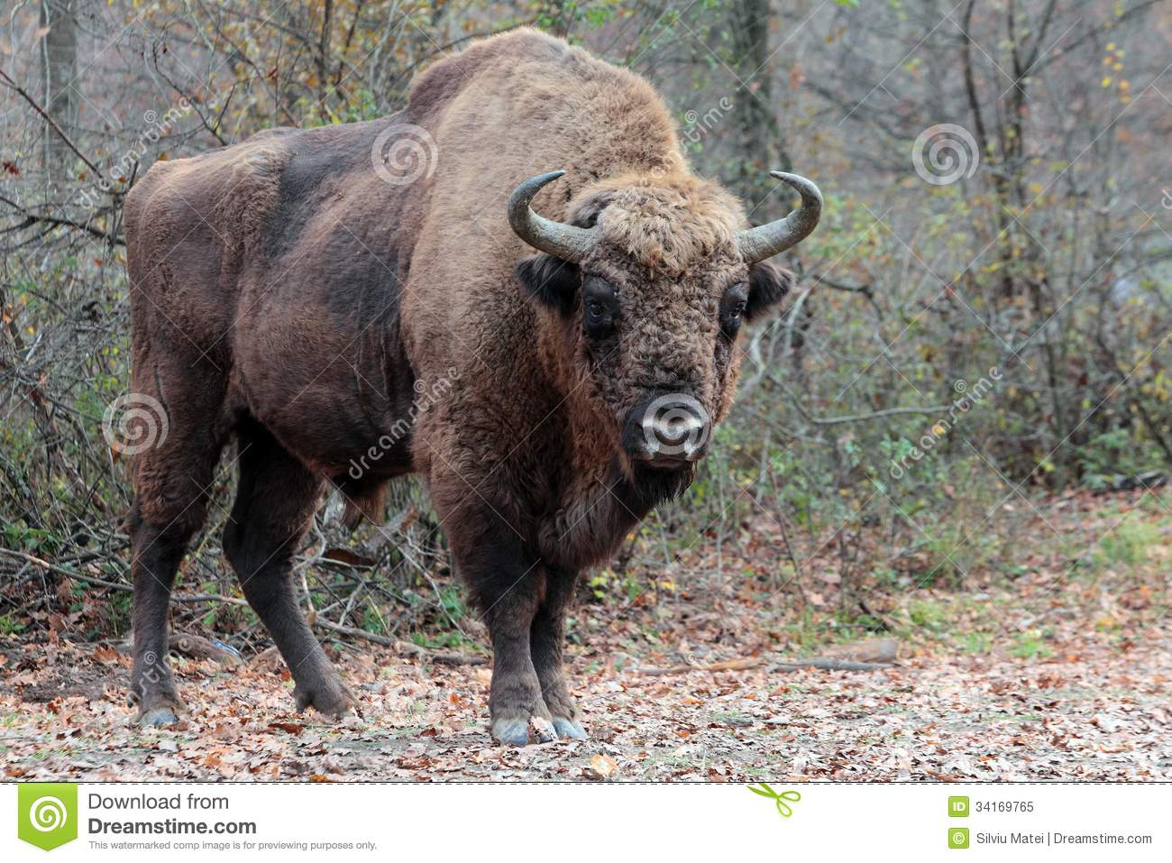 Male european bison, in the autumn forest