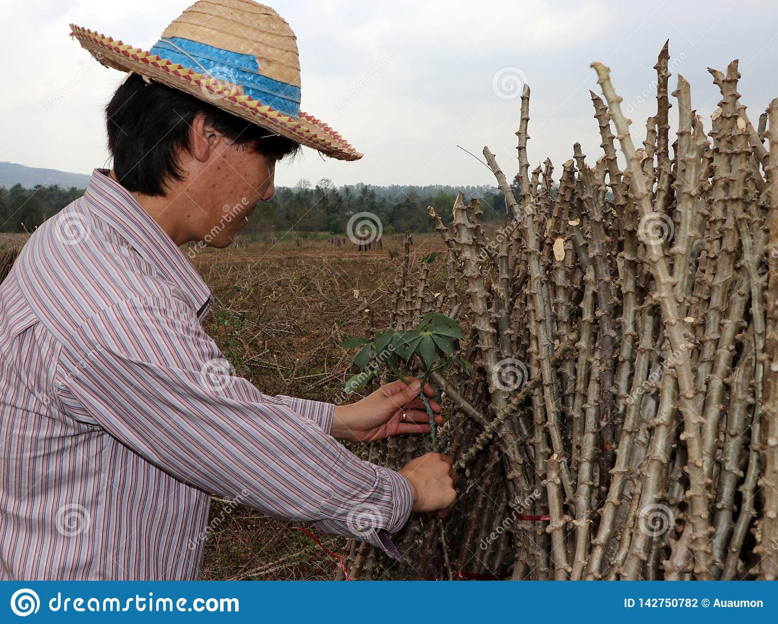 Male farmer Catching  leaf stalk of tapioca plant with tapioca limb that cut the stack together in the farm