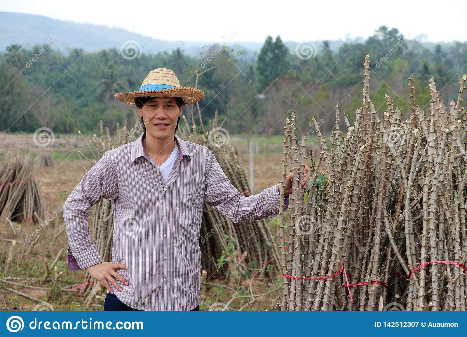 Male farmer standing with akimbo and one hand catch the limb of tapioca plant that cut the stack together in the farm