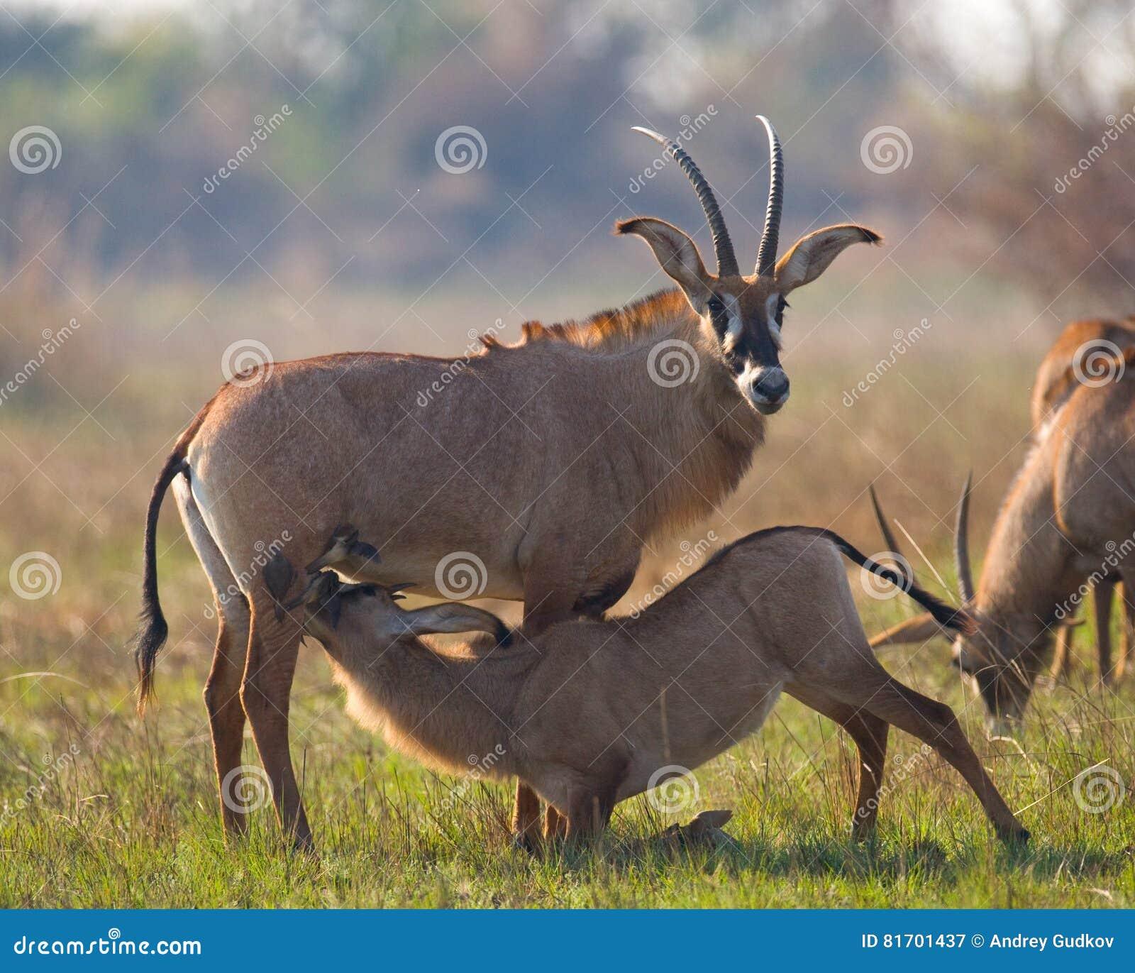 Male And Female Antelope During The Mating Season  Botswana