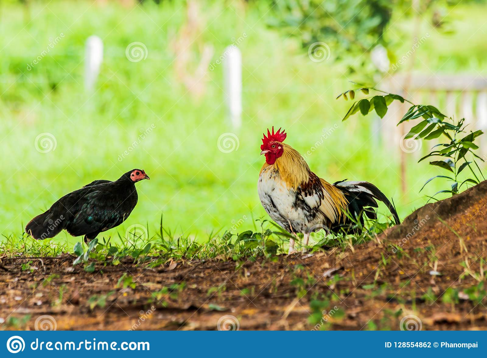 Male And Female Chickens Are Under The Shade  Stock Photo - Image of