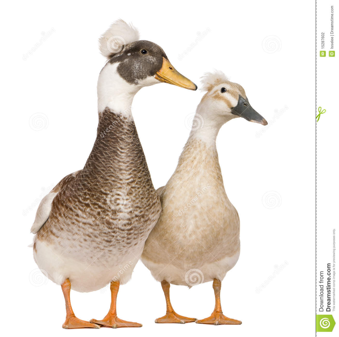 Male and female Crested Ducks, 3 years old