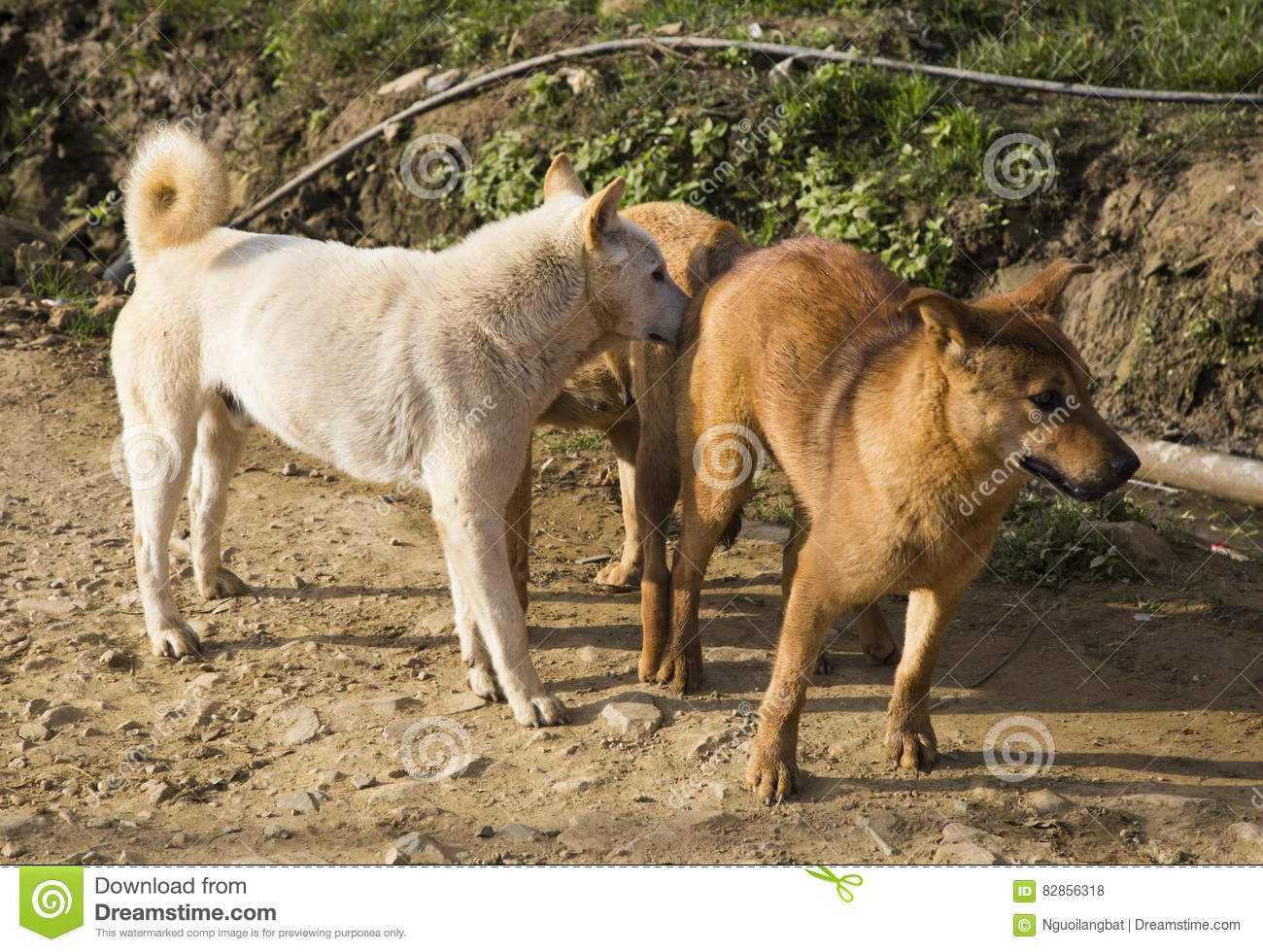 dog with female mating