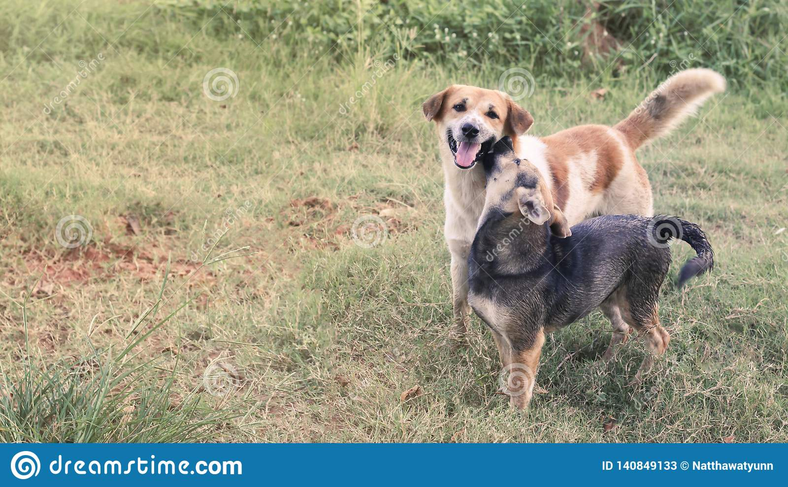 Male and female dogs look at the camera with dyes on the lawn in Thailand.