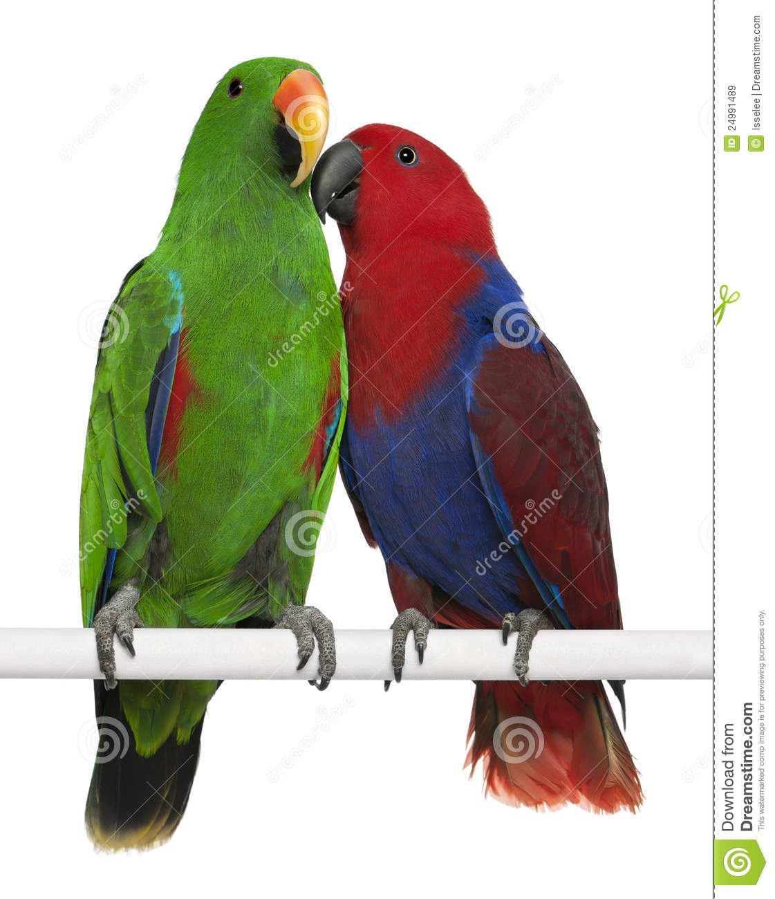 Male and Female Eclectus Parrots