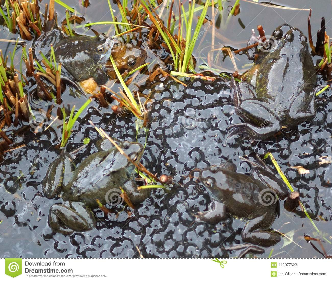 Frogs spawning in a Pond