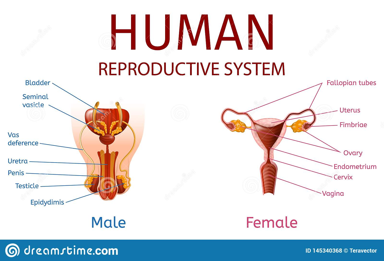 Male and female sex organs