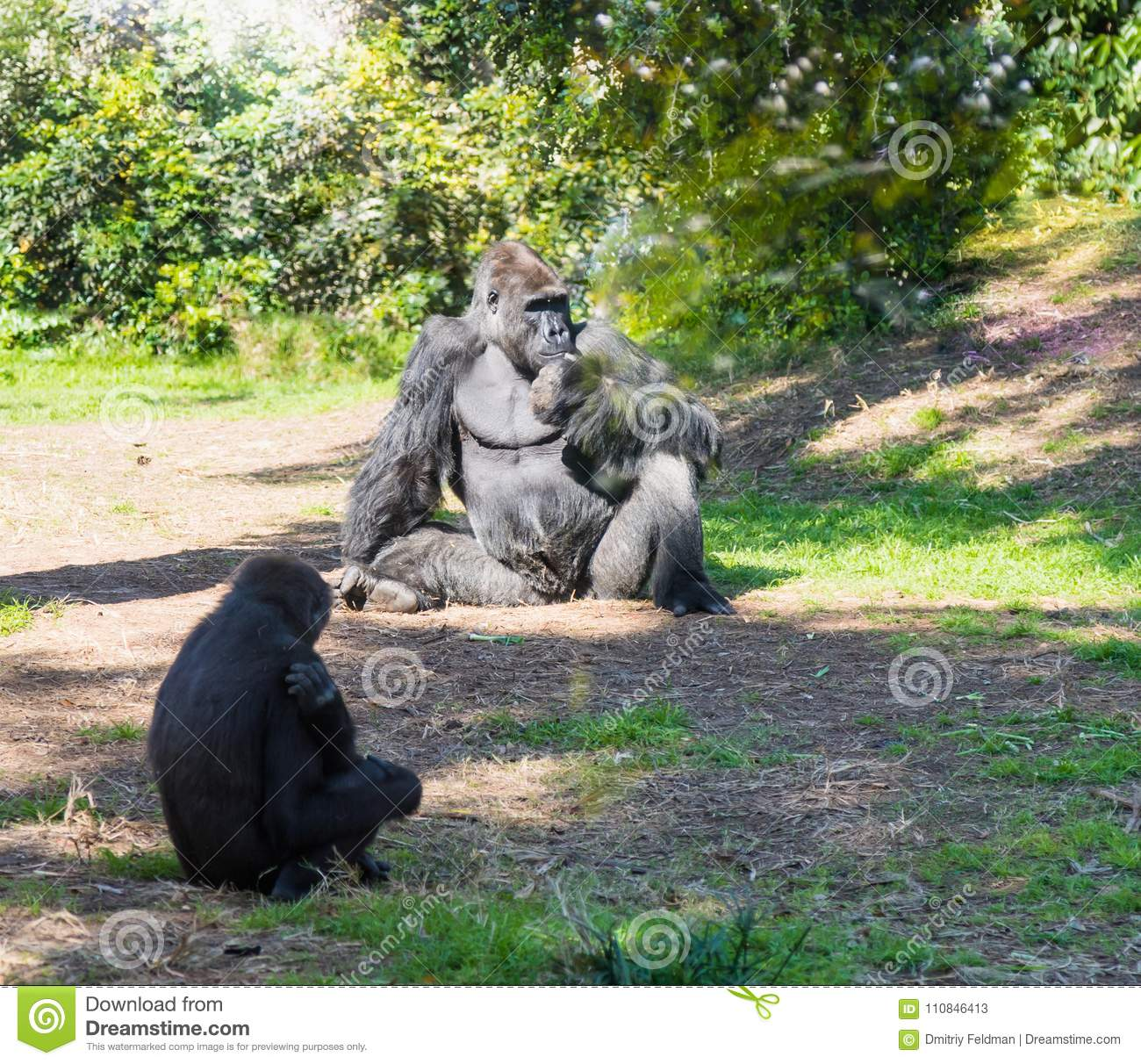 Free Ape Sex Videos the male and female gorilla sit on the ground and rest on a