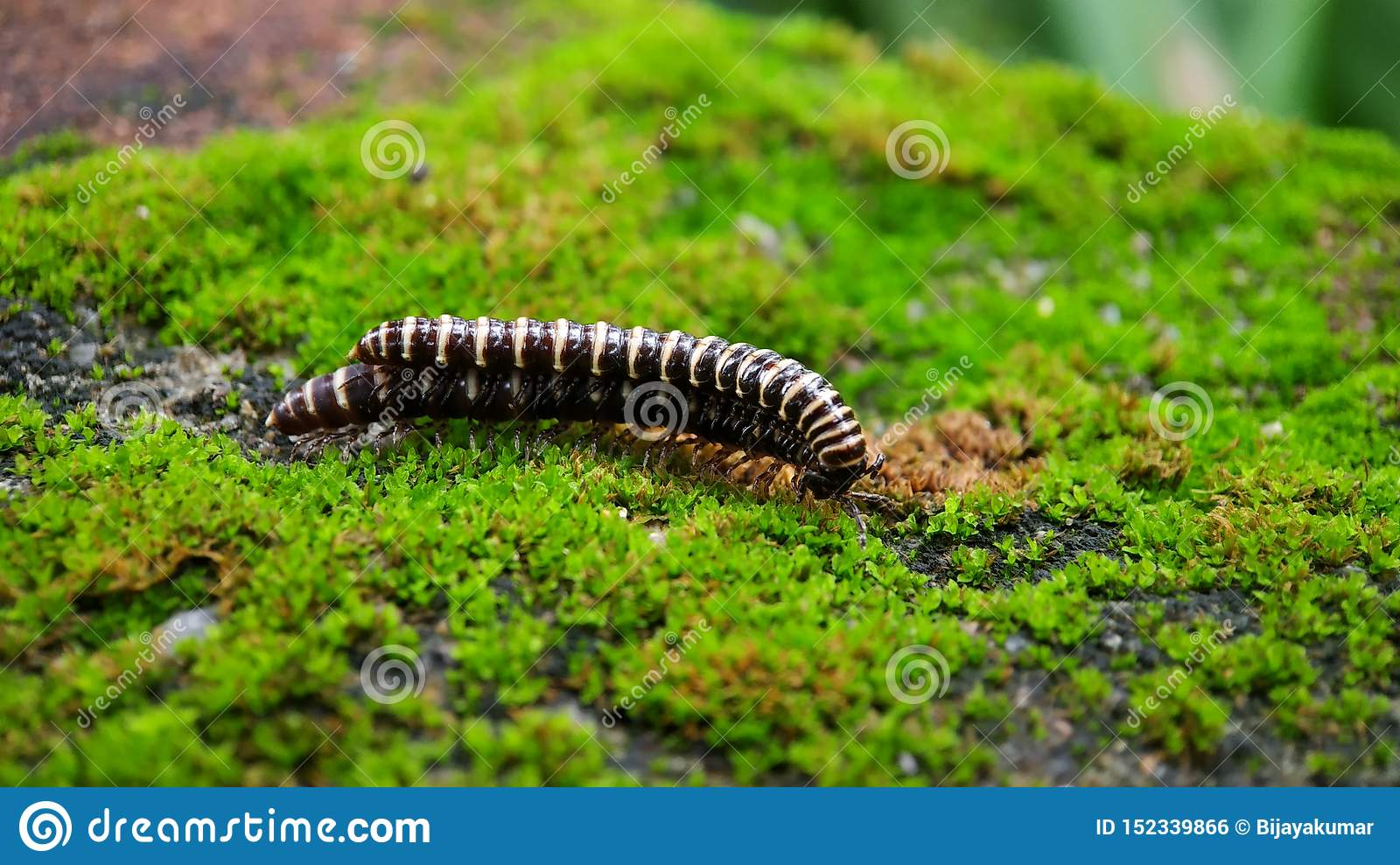 Male and Female 2 - Greenhouse millipede - Oxidus gracilis mating with each other - with green algae background on wall