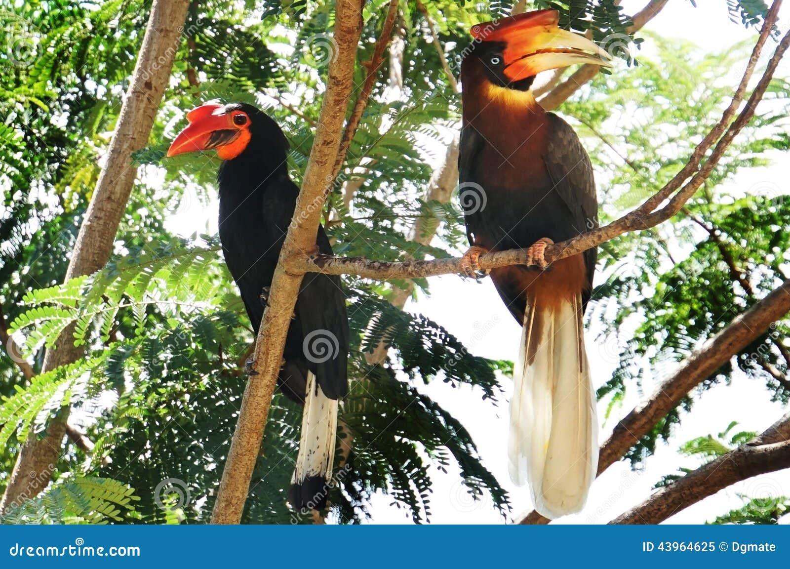 Male and female Hornbills