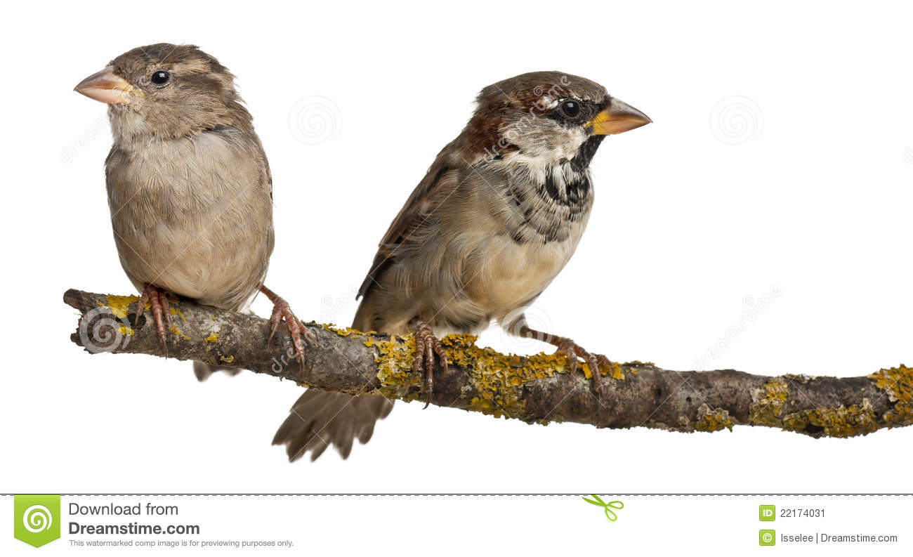 Female house sparrows