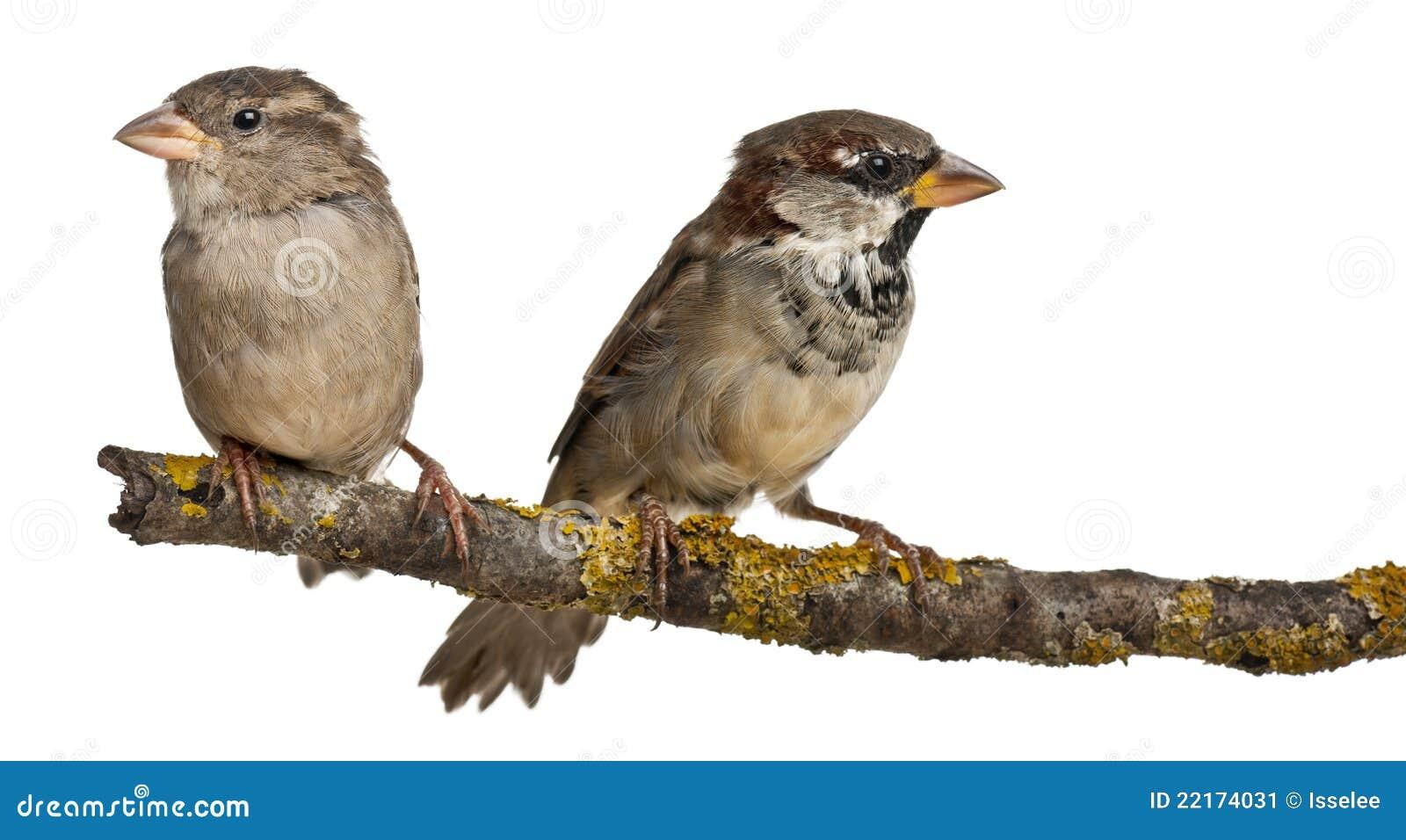 Female house sparrows