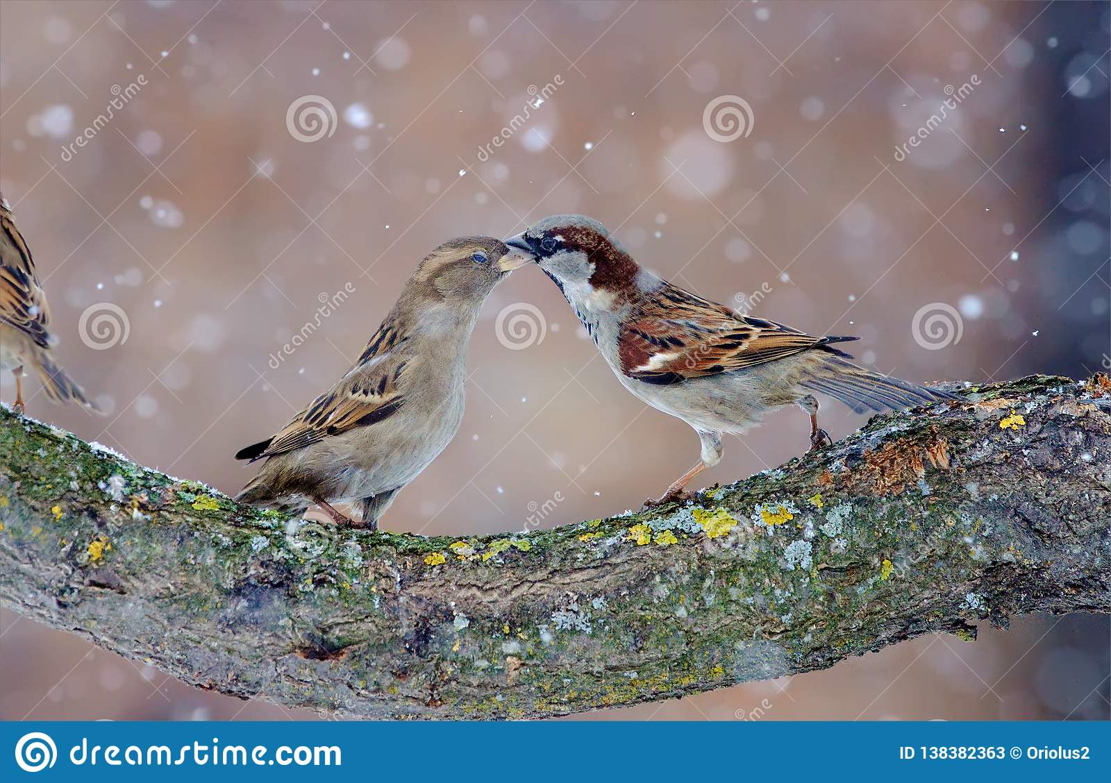 Male and female House sparrows dancing in snow storm
