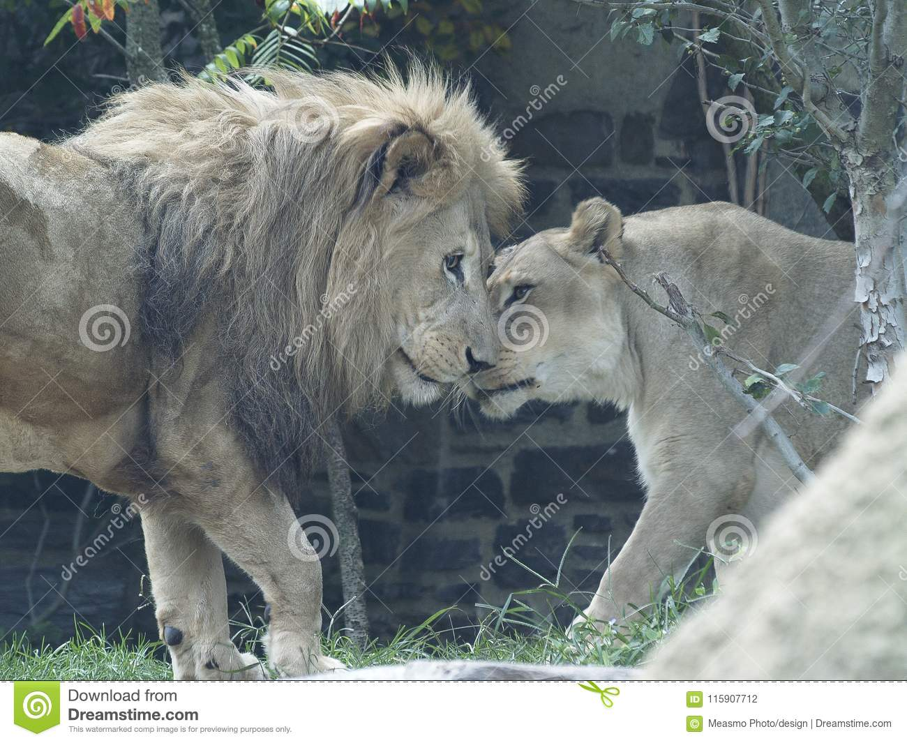 Male And Female Lion Rub Noses Stock Photo - Image of mammal