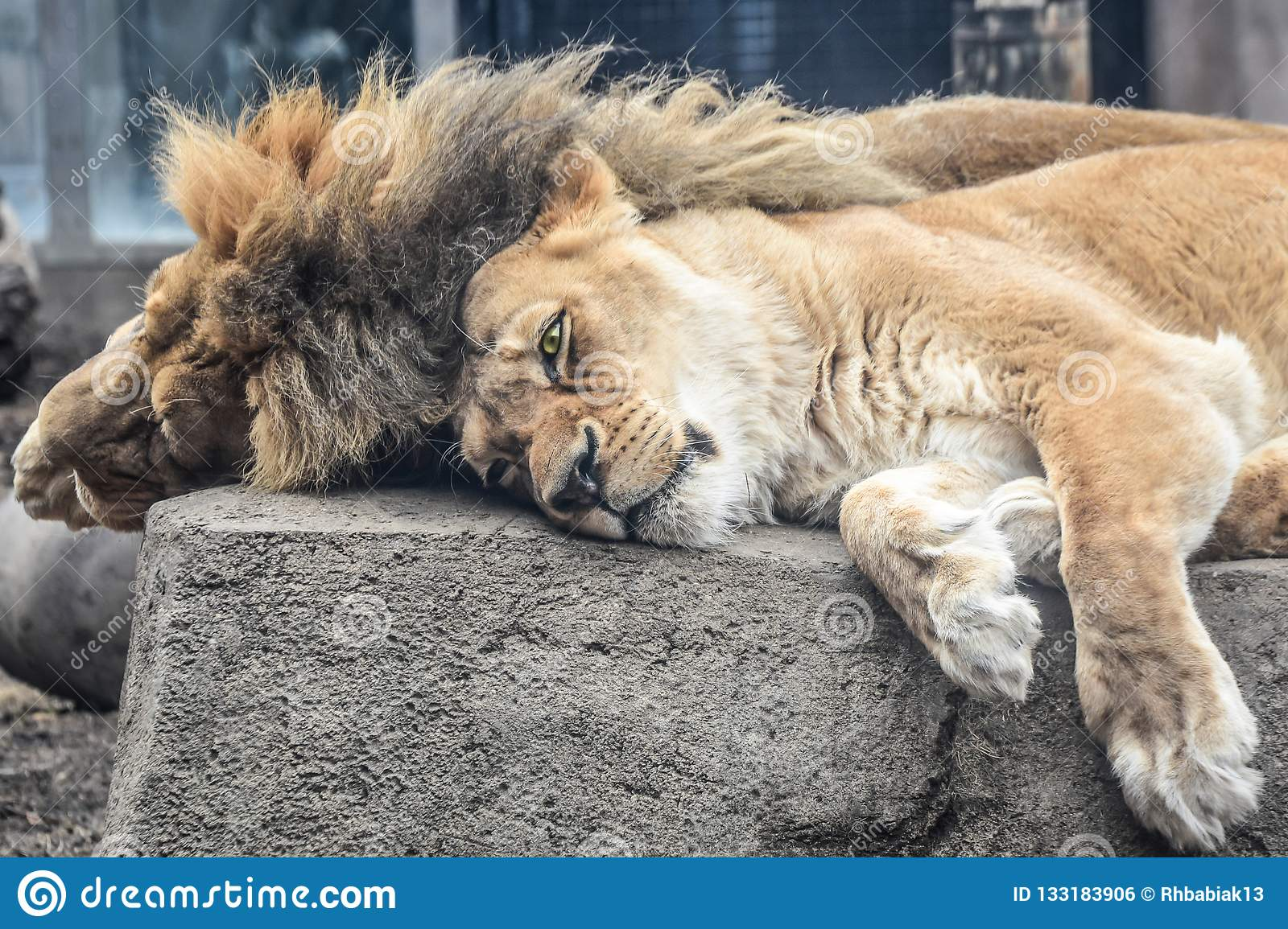 Male and Female Lions Laying Down on A Rock