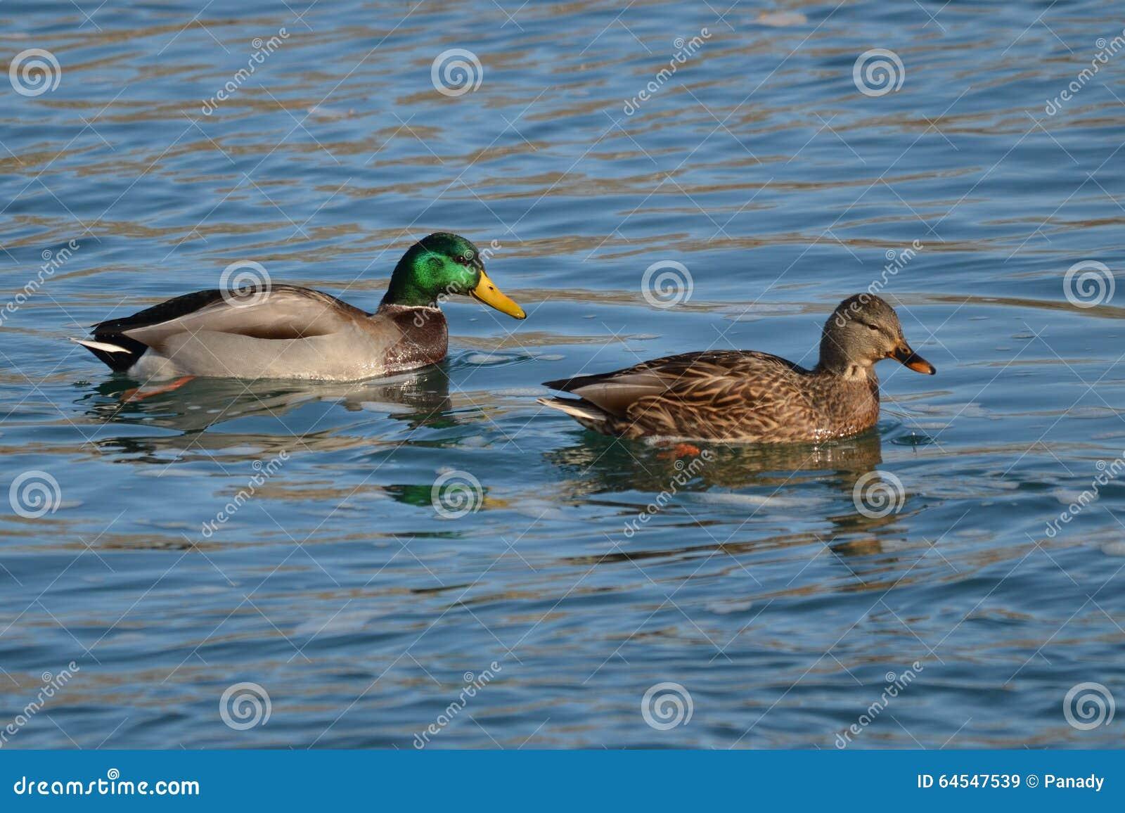 Male and female mallard duck - photo#23