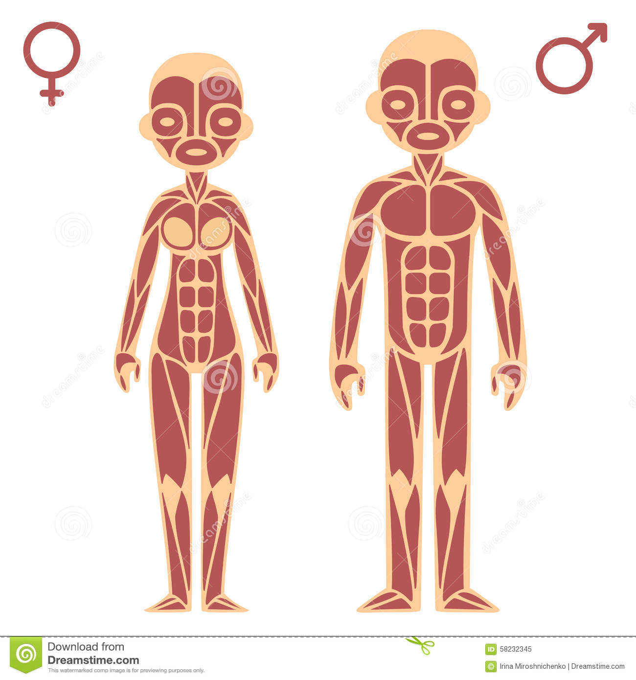 Male And Female Muscle Chart Stock Vector Illustration Of Chart
