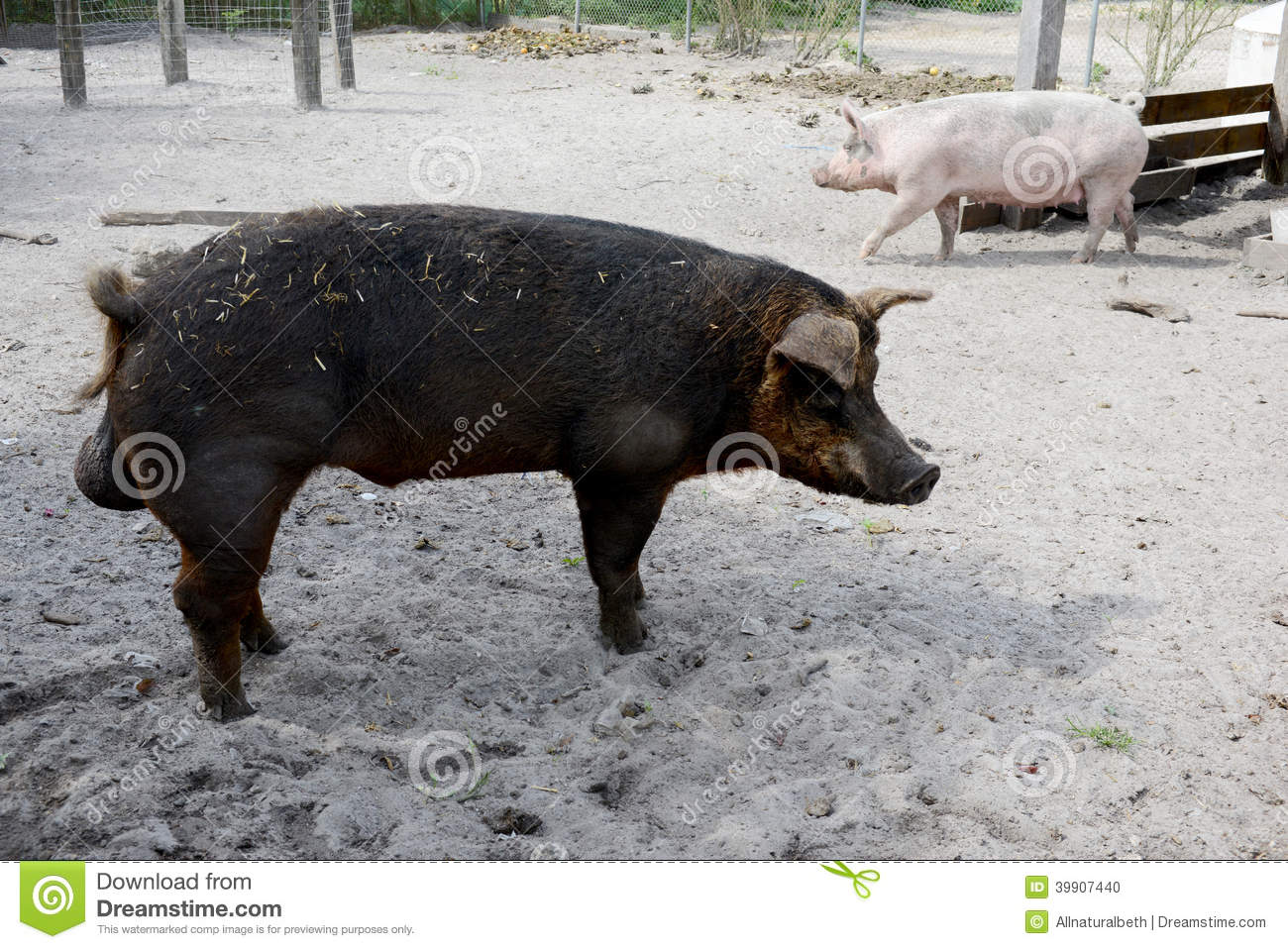 Male And Female Pig On A Farm Stock Photo - Image 39907440-5442