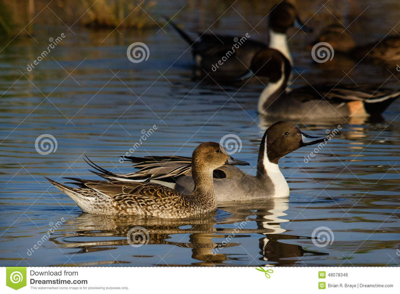 Male Female Pintails